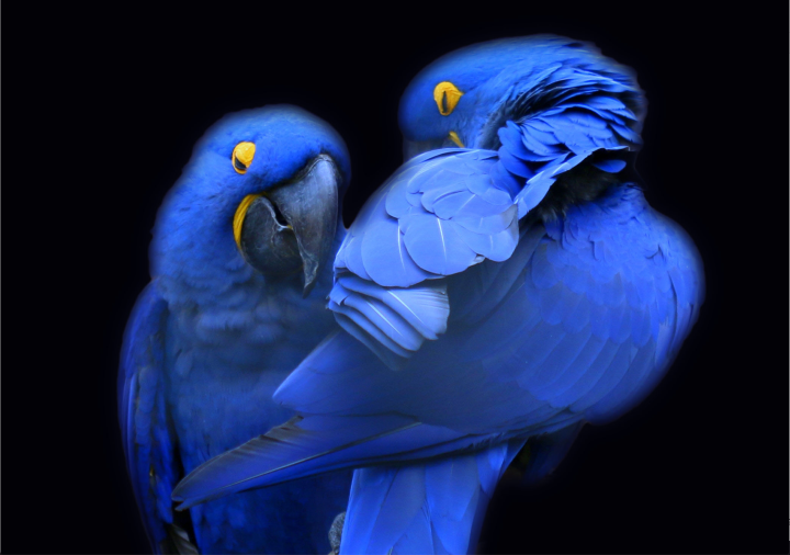 Mr and Mrs Macaw