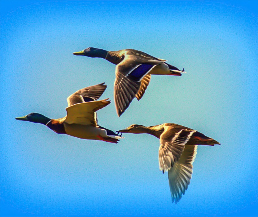 Mallards in Flight1